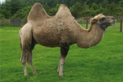 humphre-the-camel